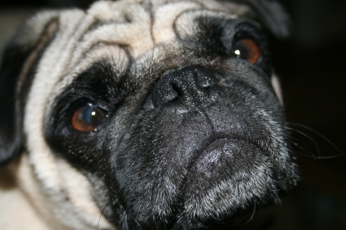 Wibble, my daughter's pug