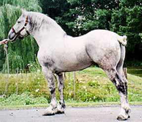 b-percheron
