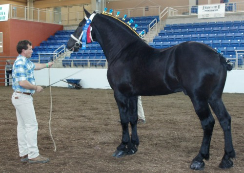 percherongrandchampionstallion