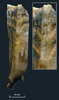 A Botai stallion's lower second premolar (mesial edge), displaying a clear parallel-sided band of bit wear that penetrates through the cementum and enamel. This morphology and depth of wear occur only in bridled animals. Image courtesy of Science/AAAS.