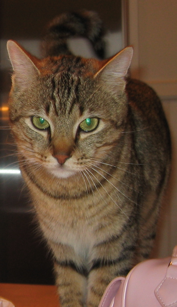 Evinruude (Evin) Carneal, brown tabby with a sweet and super quiet disposition