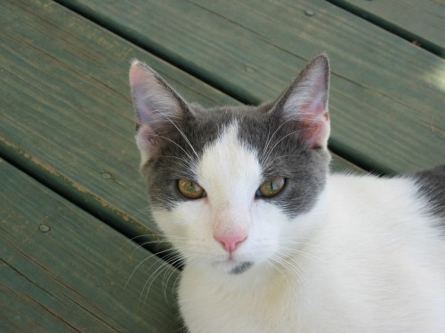 Gizmo Carneal, keenly intelligent and very affectionate, more like a lap dog than a barn cat