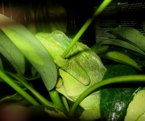 LaToya, my daughter's Jackson's Chameleon. They live in the wild of Holualoa here, and they are very charming creatures. There's a long story here about how we came to have LaToya in captivity. I will share it with you some time.