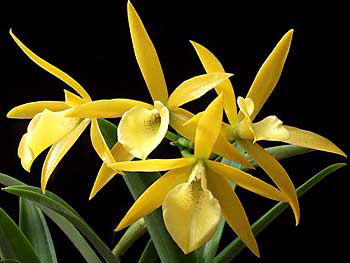 orchid.yellow.cluster