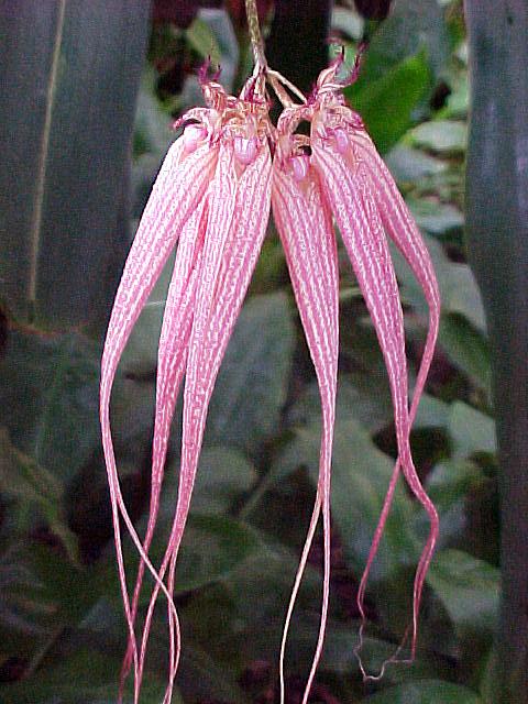 orchid125_Bulbophyllum_X_Elizabeth_Ann